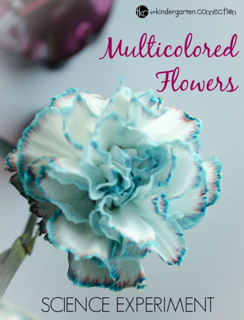 Watch flowers change colors with this super fun and exciting mutlicolored flower science experiment!